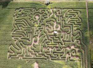 The amazing bee corn maze